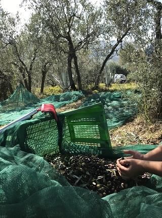 olive harvest at Agriturismo Collerisana Spoleto