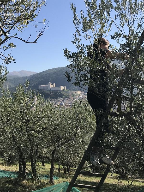 Raccolta olive agriturismo Collerisana Spoleto per Degustazione olio Umbria