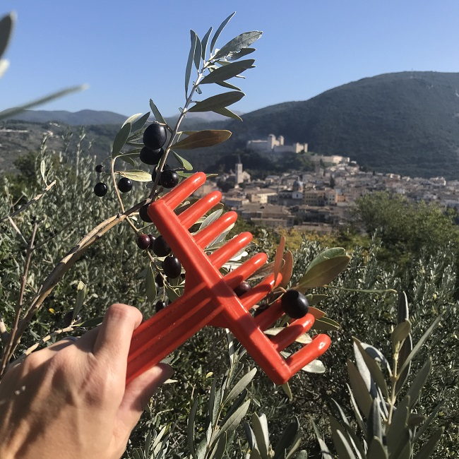 Degustazione olio Umbria - Raccolta olive in agriturismo spoleto