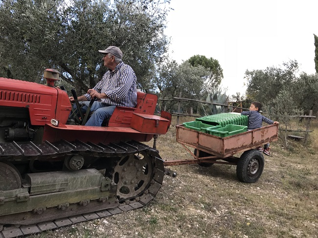 Raccolta olive Degustazione olio Umbria